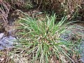 Carex paniculata plant (23).jpg
