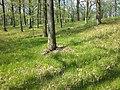 Carex praecox sl31.jpg