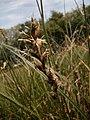 Carex pseudobrizoides inflorescens (7).jpg