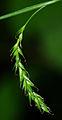 Carex sylvatica 02.jpg