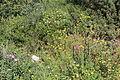 Carmel Flora - Hai-Bar Nature Reserve IMG 0782.JPG