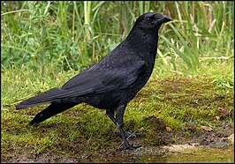 Carrion Crow photographed from Meadow Hide - geograph.org.uk - 1599548.jpg
