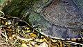 Carvalho's Slider (Trachemys adiutrix) (Courtesy of Tony Chevalier) (40107690514).jpg