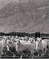 Cashmere Goats in Inner Mongolia.jpg