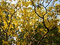 Cassia fistula in full bloom in Anaimalai Tiger Reserve4.jpg