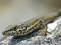 Catalonian Wall Lizard (Podarcis liolepis cebennensis) close-up (14085684563).jpg