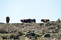 Cattle at Garchew Farm near Bargrennan on Southern Upland Way - panoramio.jpg