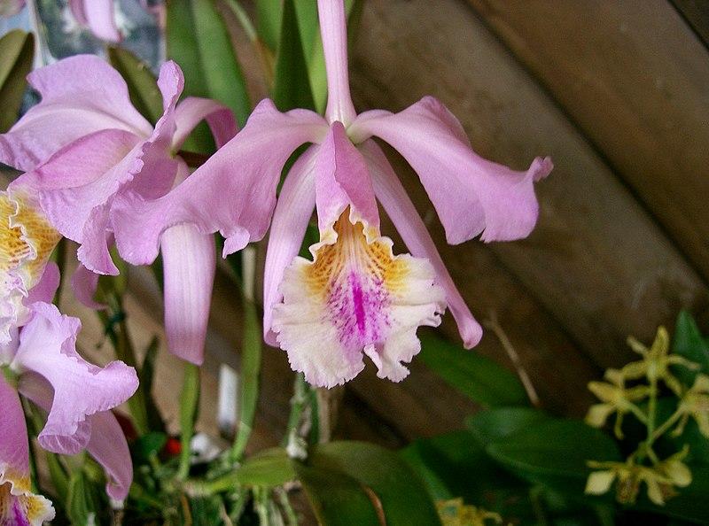 Cattleya mossiae2.jpg