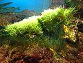 Caulerpa racemosa.jpg