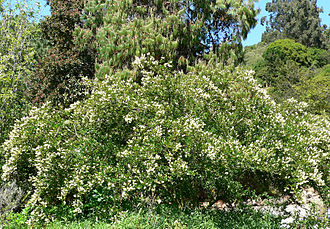 Ventana Wilderness - Ceanothus thyrsiflorus (white form) at the University of California Botanical Garden, Berkeley, California