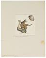 Cebus capucinus - 1829-1867 - Print - Iconographia Zoologica - Special Collections University of Amsterdam - UBA01 IZ20200180.tif