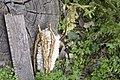 Ceiba speciosa (fruit).jpg