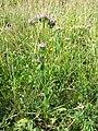 Centaurium erythraea (subsp. erythraea) sl4.jpg