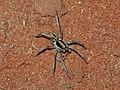 Central Australian wolf spider.jpg
