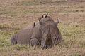 Ceratotherium simum, Lake Nakuru, Kenya.jpg