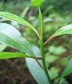 Cerbera odollum bud.jpg