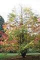 Cercidiphyllum japonicum JPG01c.jpg