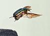 Cetonia aurata take off 06 05172009.jpg