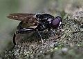 Chalcosyrphus nemorum, Parc de Woluwé, Bruxelles (48116877682).jpg