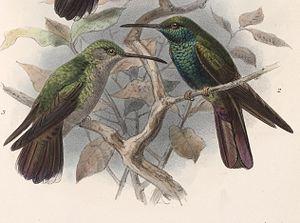 Bronze-tailed plumeleteer - Illustration by John Gerrard Keulemans (1902)