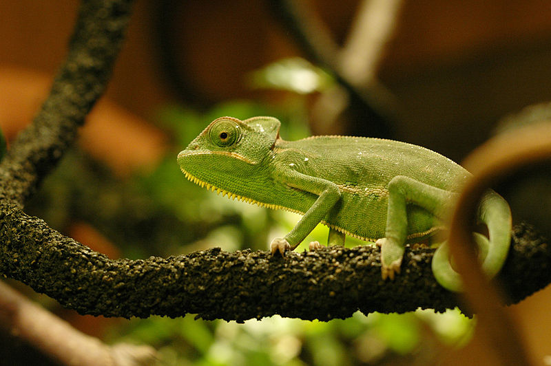 Chameleons as Pets - an Overview of their Natural History ...