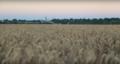 Champ de blé avec l'Eglise au loin.png