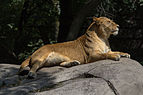 Chapultepec Zoo - African lion (06).jpg