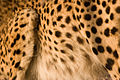 Cheetah Spots (3684695773).jpg