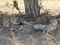 Cheetahs in Masai Mara 2.jpg