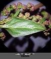 Chenopodium chenopodioides sl9.jpg