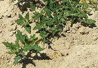 Chenopodium glaucum kz