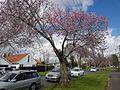 Cherry blossoms in spring.jpg