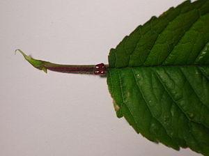 Myrmecophyte - Image: Cherry petiole glands