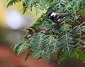 Chestnut-backed Chickadee (45666078781).jpg