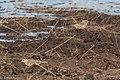 Chestnut-collared Longspur Davis Pasture Sonoita AZ 2018-01-26 11-56-40 (39234592174).jpg