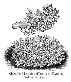 Chicorée frisée d'Anjou Vilmorin-Andrieux 1904.png