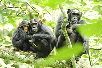Chimpanzee - Chimpanzee group