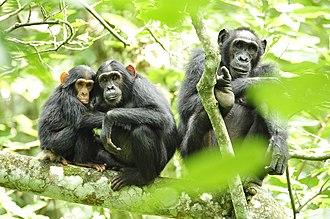 Chimpanzee - Chimpanzee group