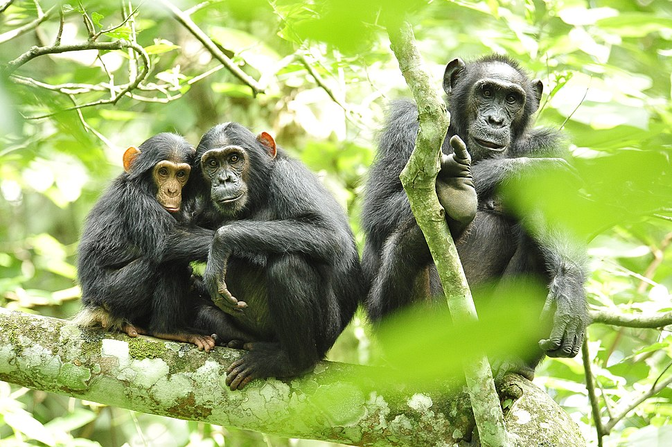 Chimpanzees in Uganda (5984913059)