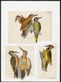 Chloronerpes - 1700-1880 - Print - Iconographia Zoologica - Special Collections University of Amsterdam - UBA01 IZ18700373.tif