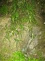 Chlorophytum comosum (Thunb.) Jacques (AM AK329756-2).jpg