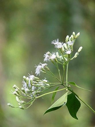 Chromolaena odorata - Flower in Kerala