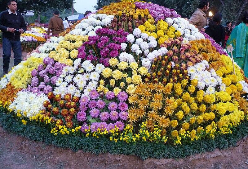 أحلى الألوان من زهور الأقحوان 800px-Chrysanthemum.