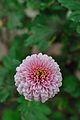 Chrysanthemum - Science City - Kolkata 2012-01-11 8036.JPG