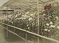 Chrysanthemum flowers of Japan in the 1890s, Digital ID- 110019. 189-? (3109907259) (cropped).jpg