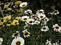 Chrysanthemum from Lalbagh flower show Aug 2013 8327.JPG