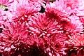 Chrysanthemum x grandiflorum Zesty Victoria 0zz.jpg