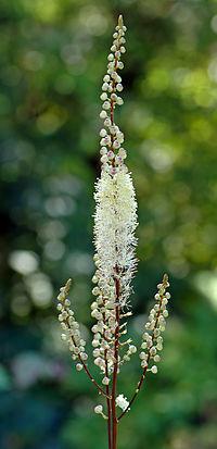 Cimicifuga heracleifolia - blossom (aka).jpg