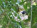 Cinnyris osea bird (Male)- Jerusalem.jpg