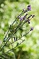 Cirsium arvense (aka).jpg